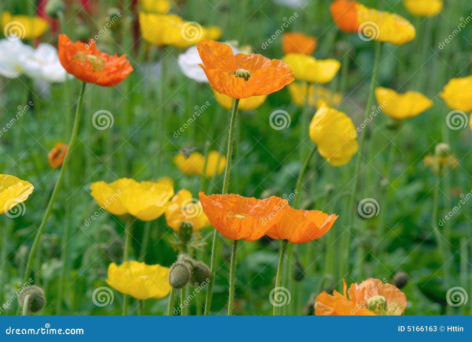 Opium Poppy Flower Stock Image Image Of Drug Book Garden 5166163