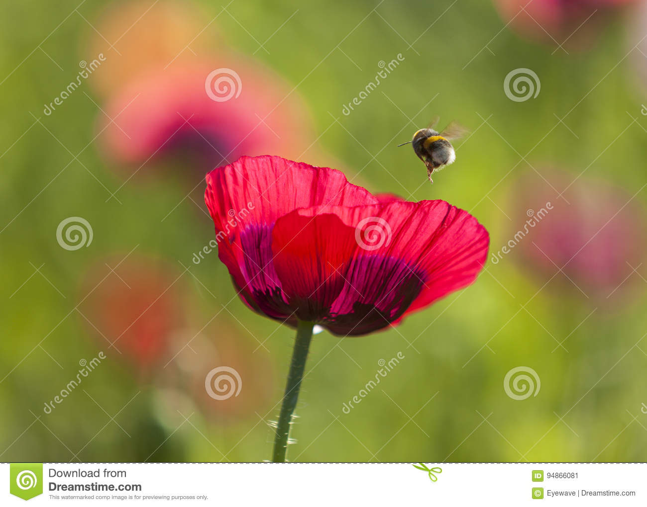 Opium Poppy Flower And Bumble Bee Stock Image Image Of Outdoor
