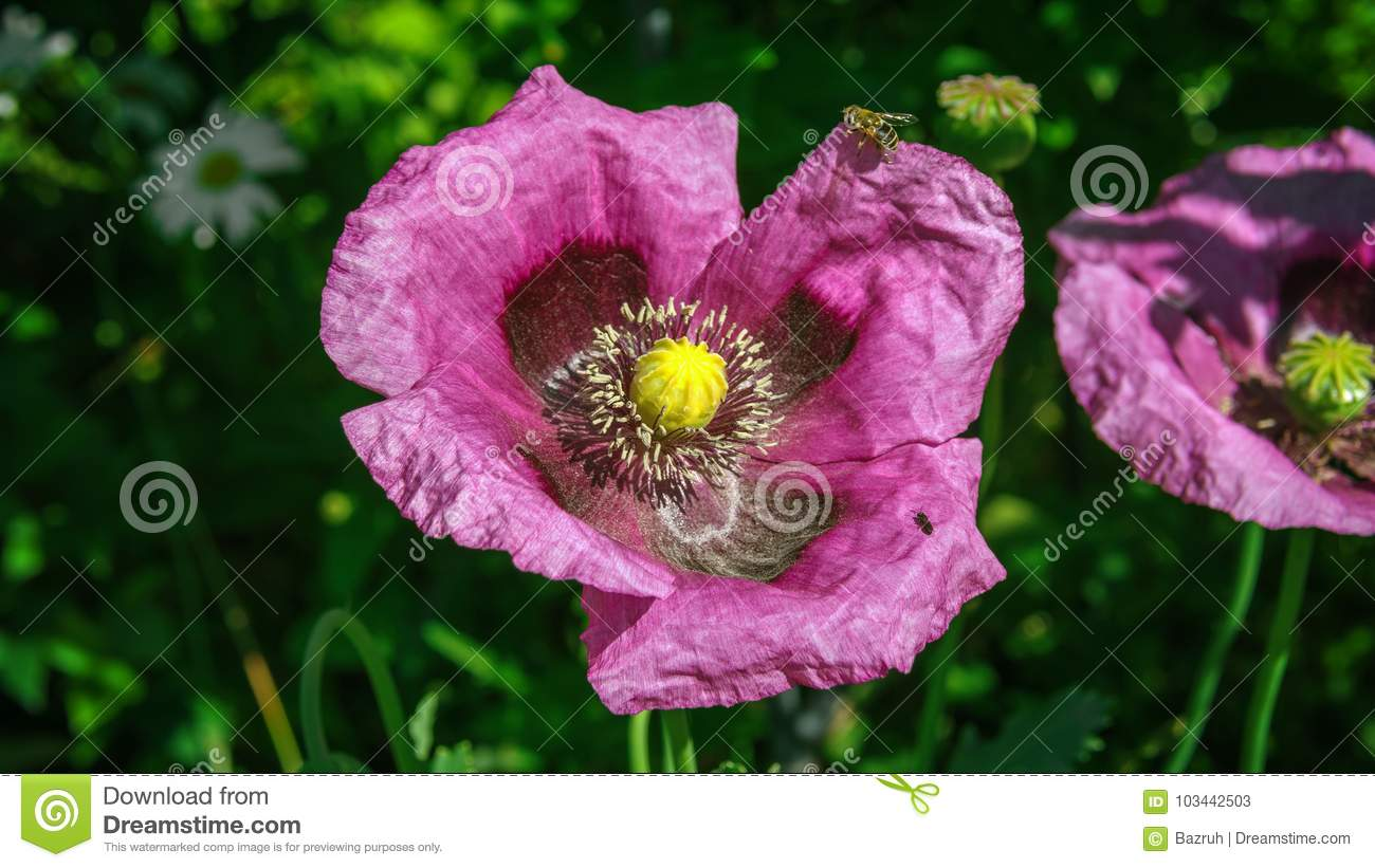 Opium Poppy Flower Stock Image Image Of Beauty Floral 103442503