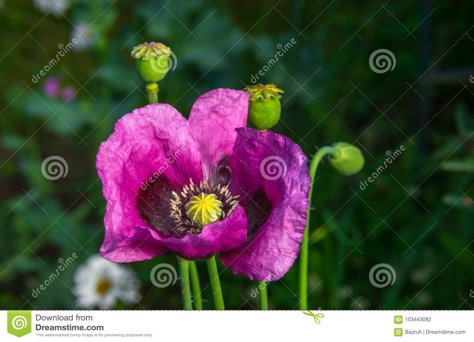 Opium Poppy Flower Stock Photo Image Of Addiction Bloom 103443082