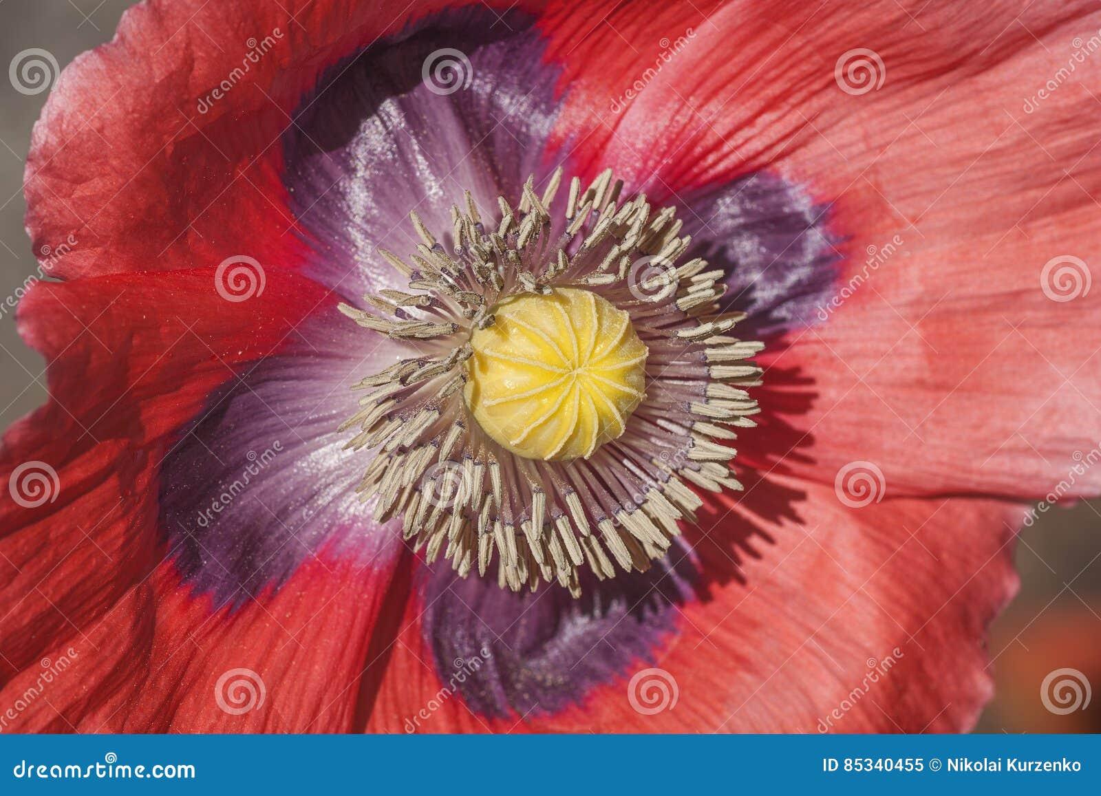 Opium Poppy Flower Stock Image Image Of Petal Pollen 85340455