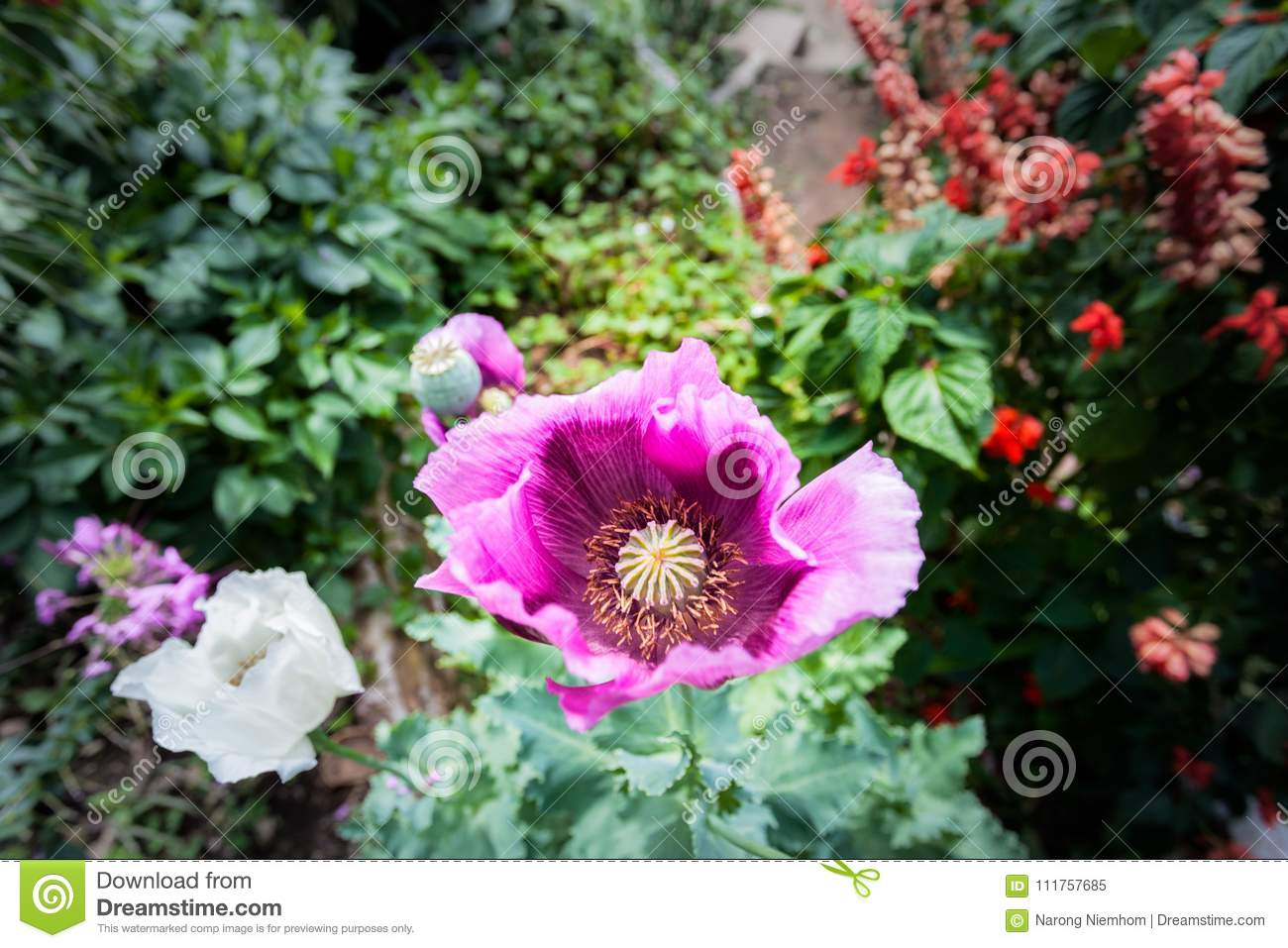 Opium Can Be Extracted As Heroin Stock Image Image Of Petal