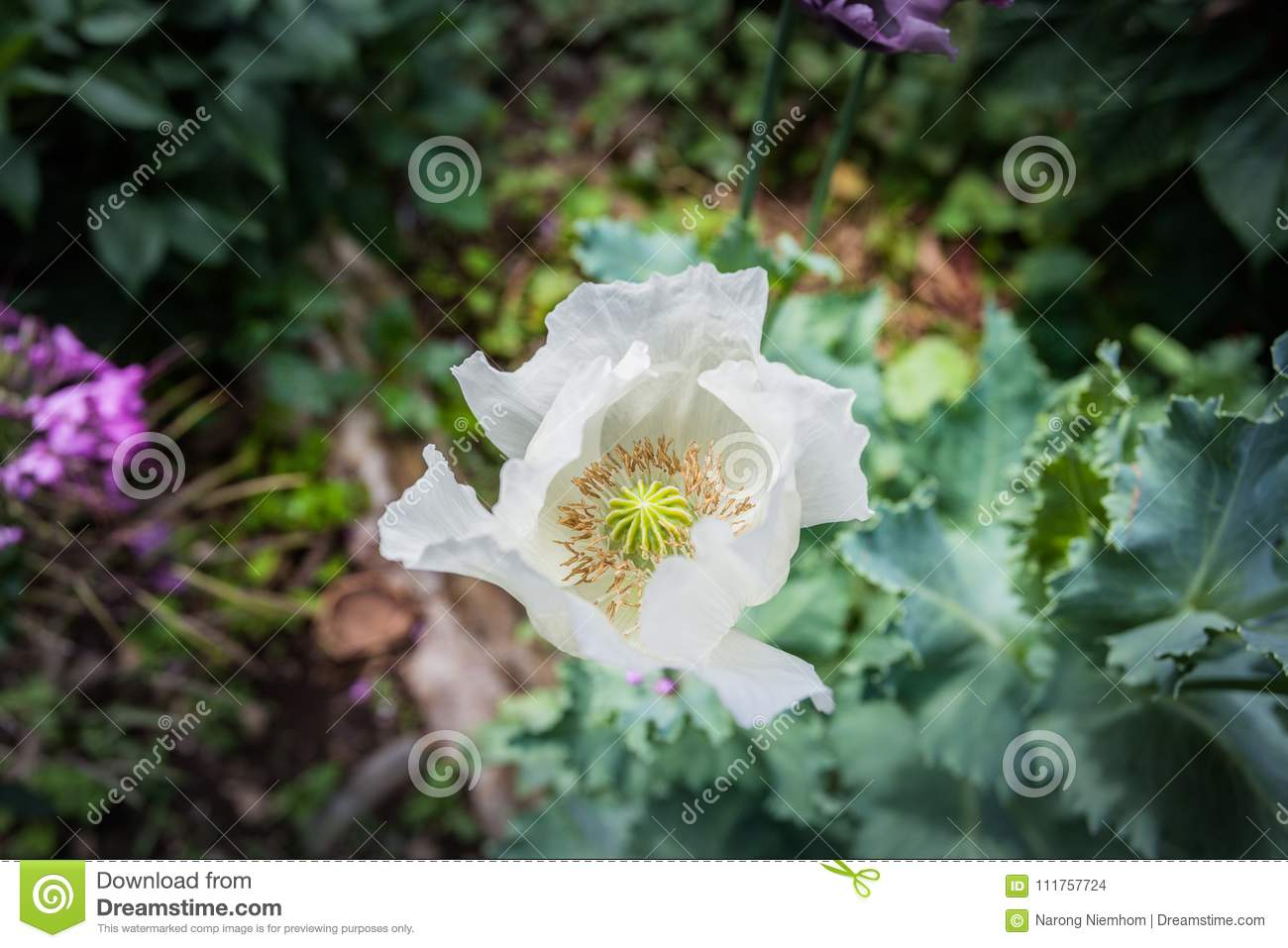 Opium Can Be Extracted As Heroin Stock Photo Image Of Thailand