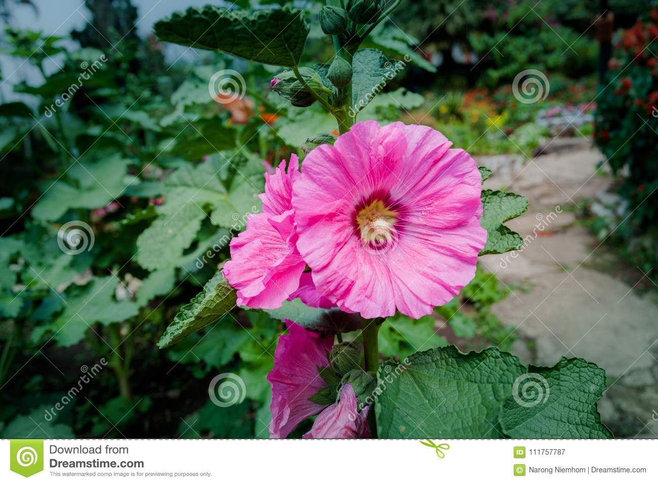 Opium Can Be Extracted As Heroin Stock Image Image Of Mountain