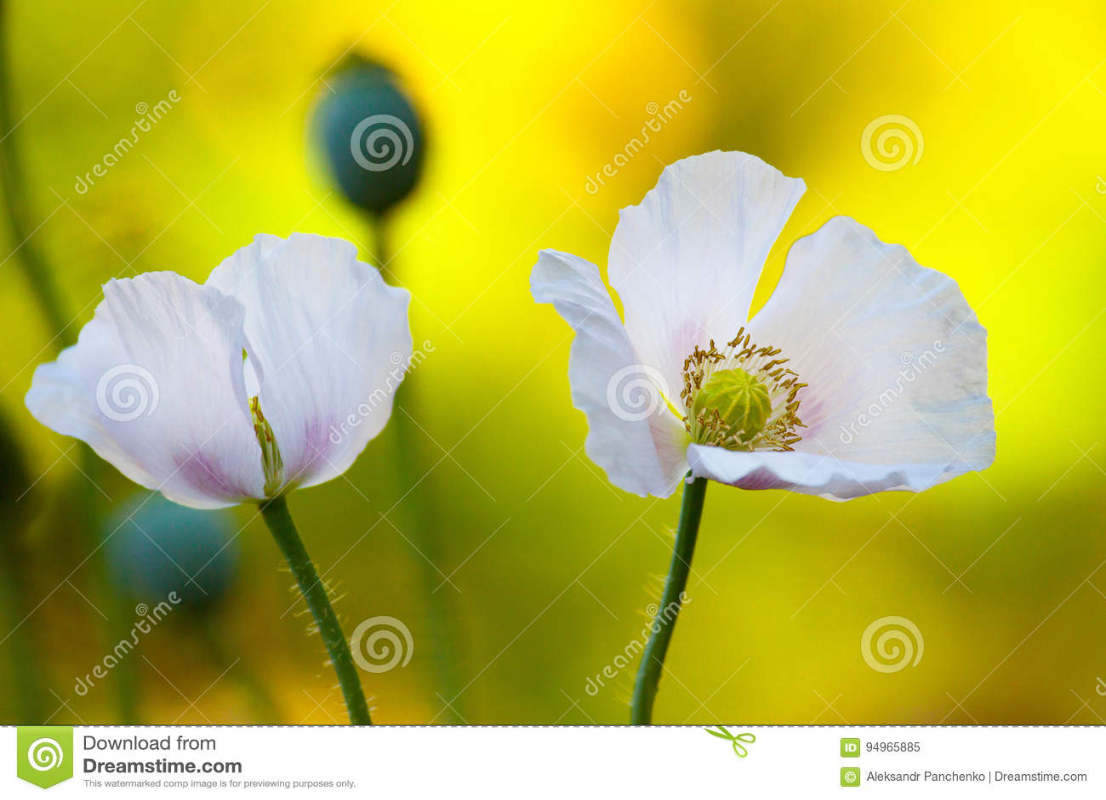 Opium Poppy Flowers Stock Image Image Of Garden Herb 94965885
