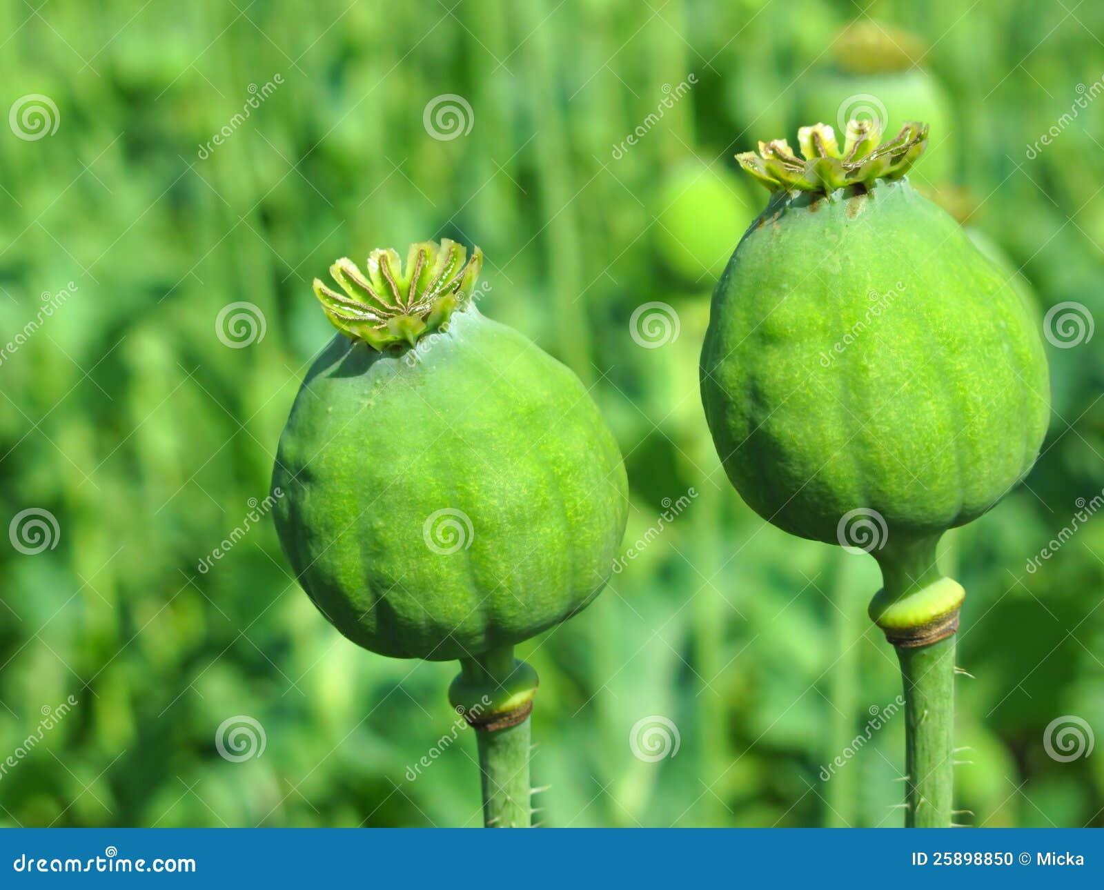 Opium poppy heads