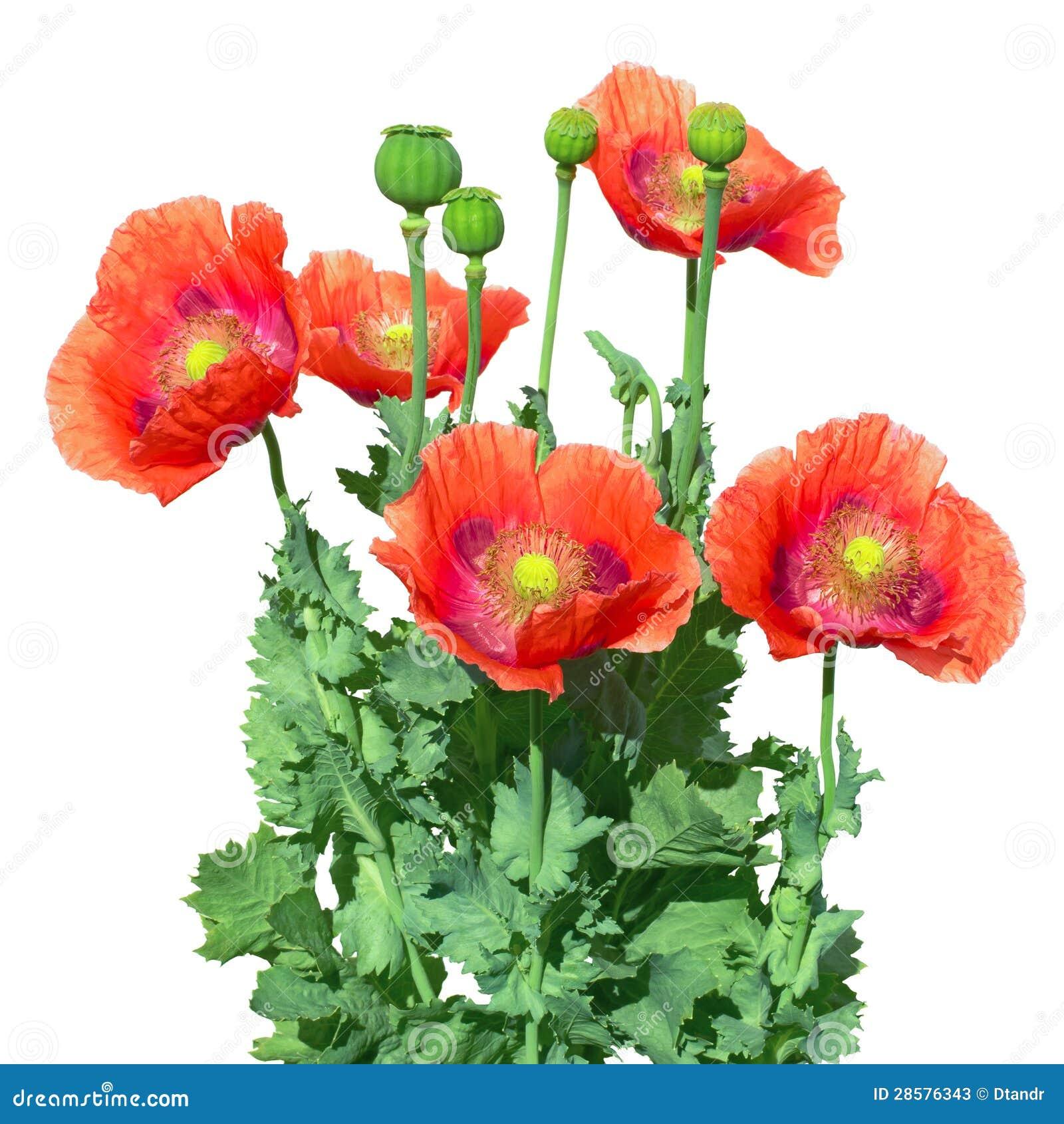 Opium Poppy The Papaver Somniferum Stock Image Image Of Capsule