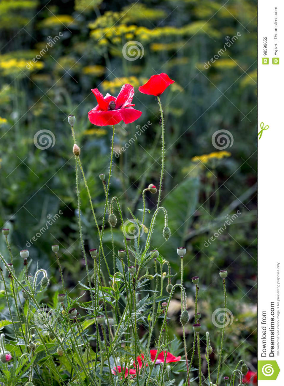 Opium poppy papaver somniferum flower stock photo image of download opium poppy papaver somniferum flower stock photo image of blooming blossom 98399652 mightylinksfo