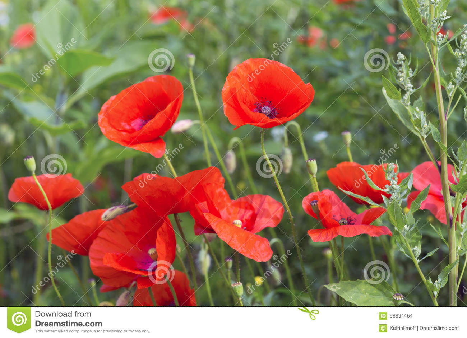 Opium Poppy Papaver Somniferum Flower Stock Photo Image Of Plant