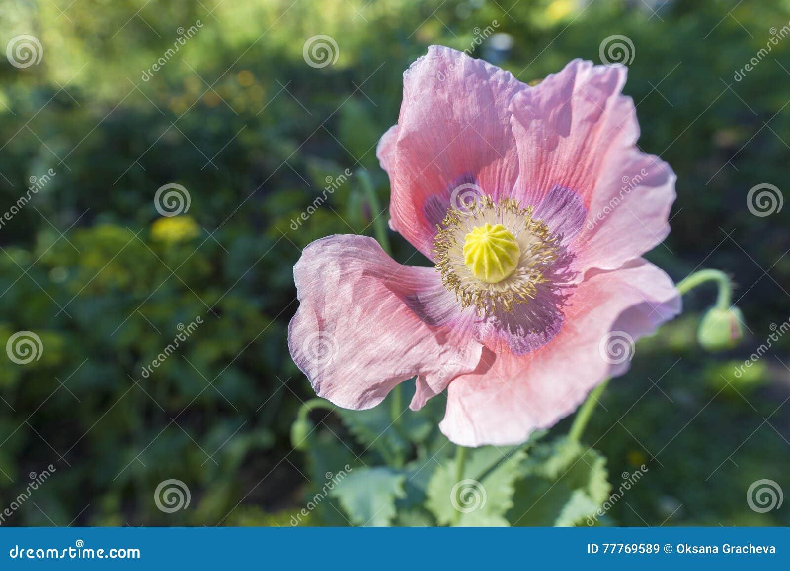 Opium Poppy Papaver Somniferum Poppy Flower Stock Image Image