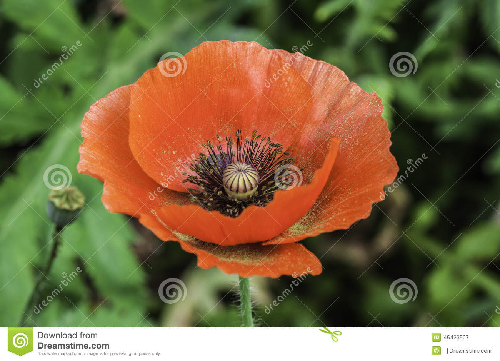 Opium Stock Image Image Of Plant Fragile Beautiful 45423507