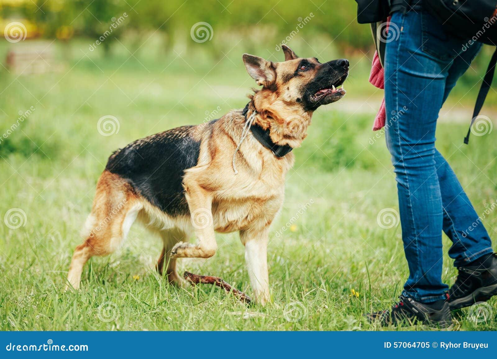 Opleidende Herder Brown German Shepherd op Gras
