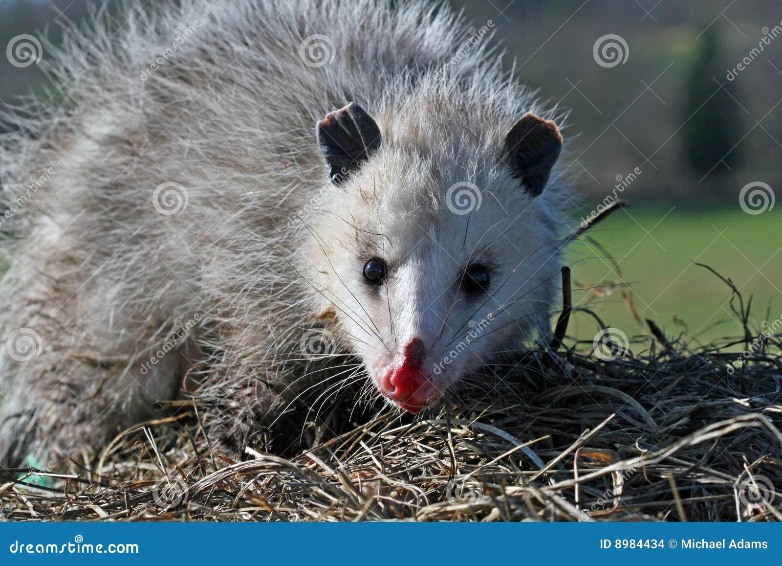 Opossum de la Virginie