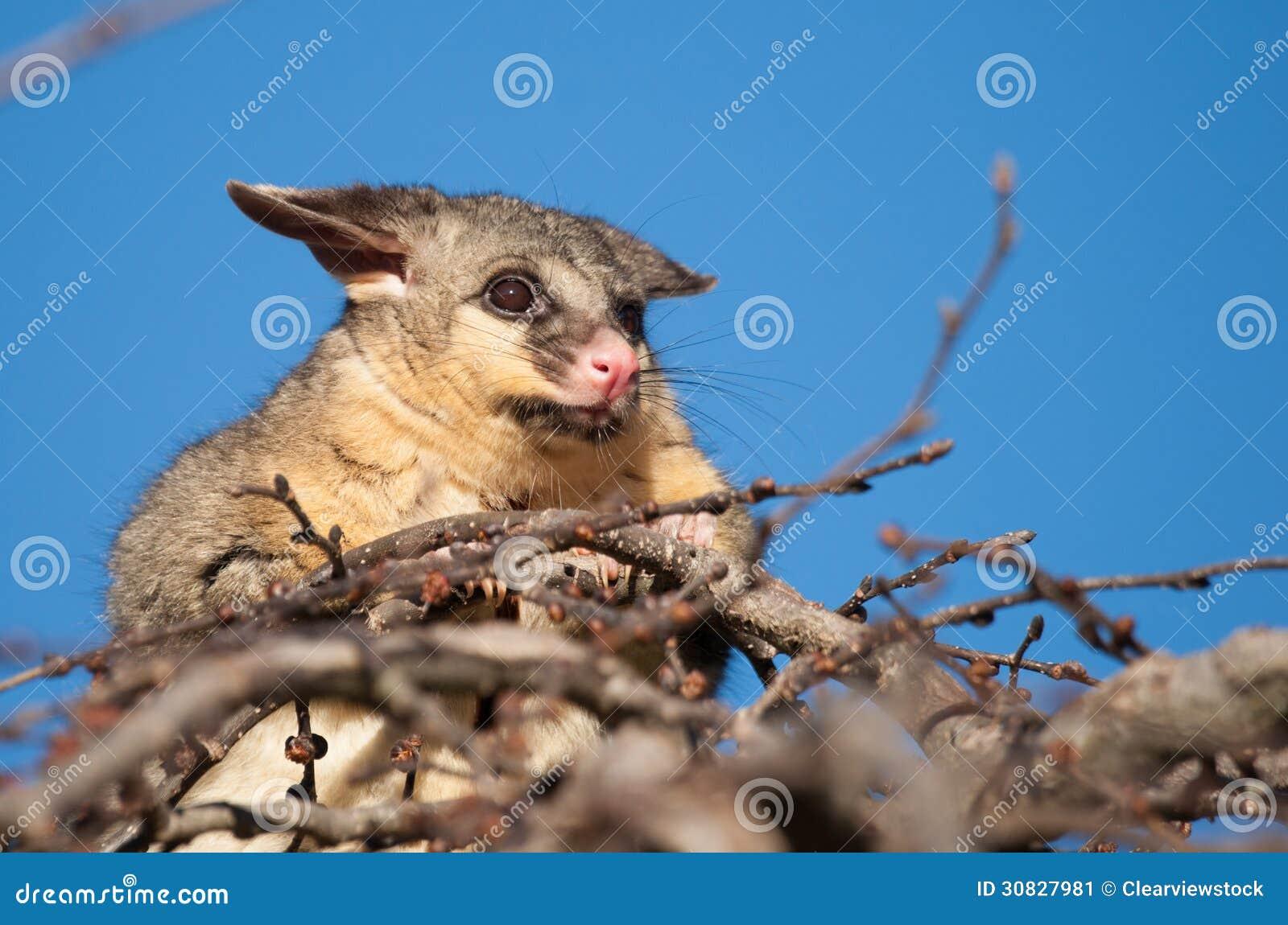 Opossum della coda della spazzola in albero