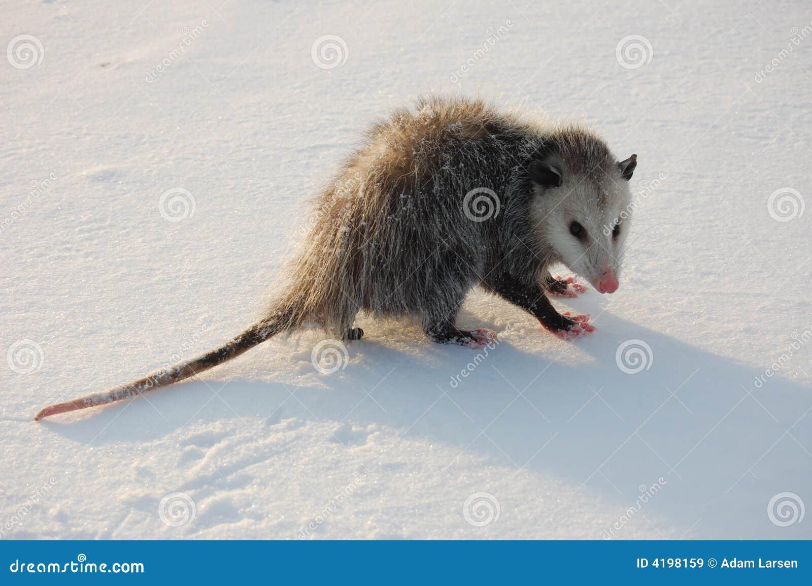 Opossum in the Snow stock image. Image of grayish, grey ...