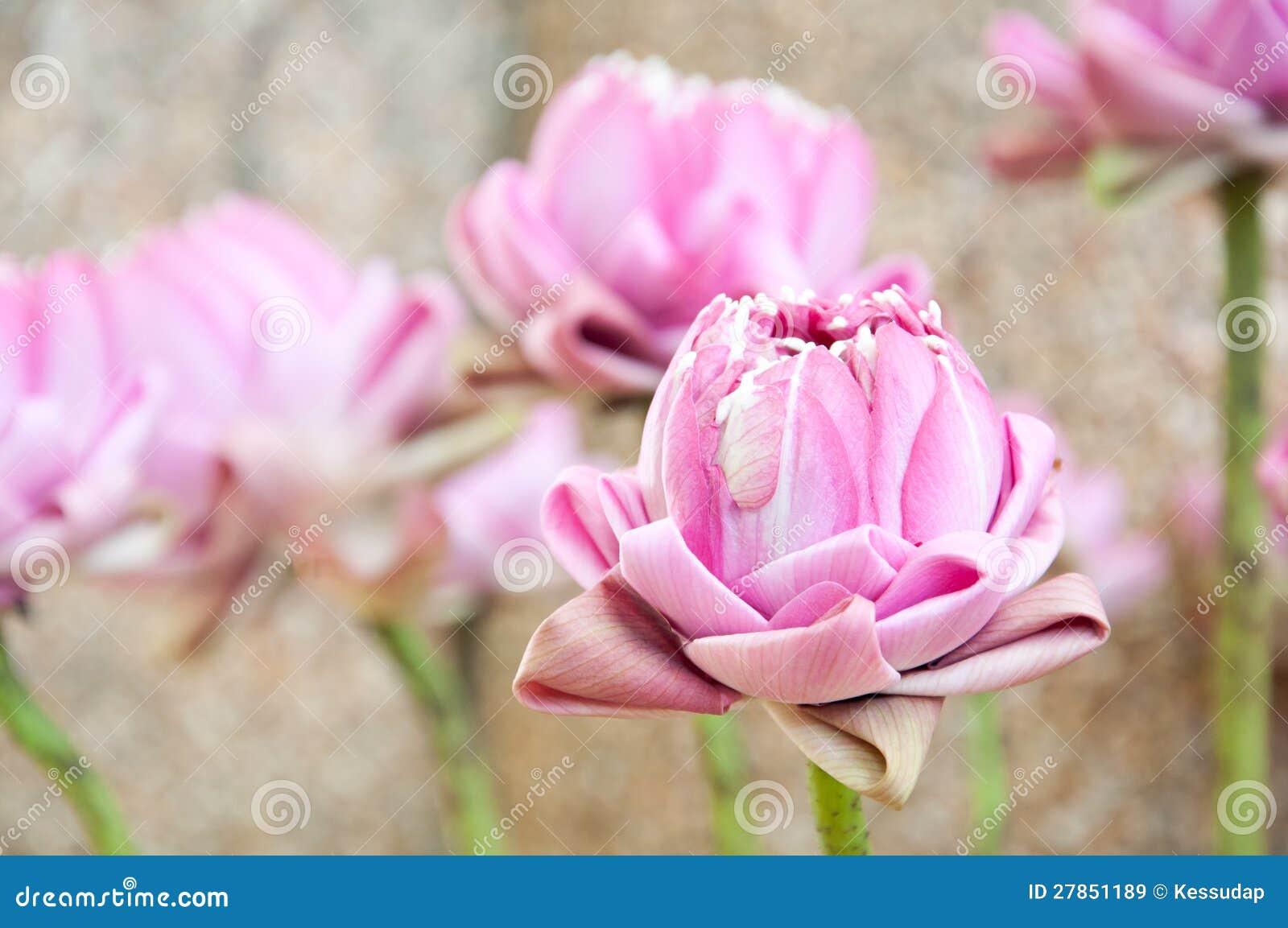 Opracowywa dla cześć różowego lotosu Buddha