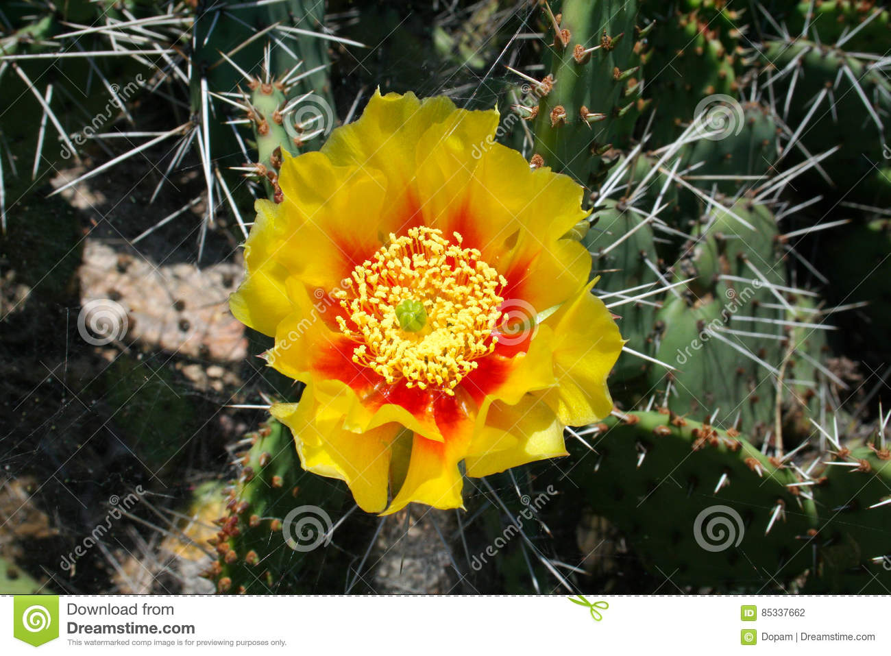 Opuntia Cactus Prickly Pears With Yellow Flower Stock Photo Image