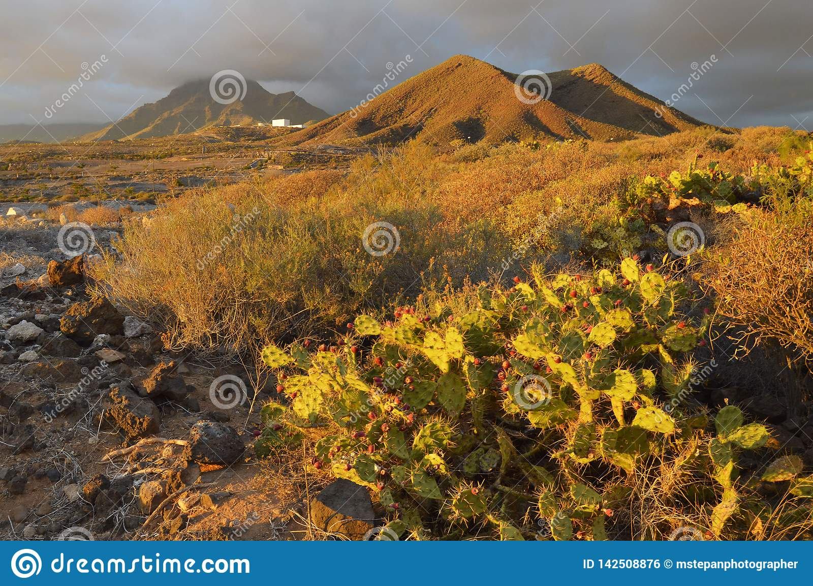 Volcanic landscape with cactus plants Tenerife Canary Islands