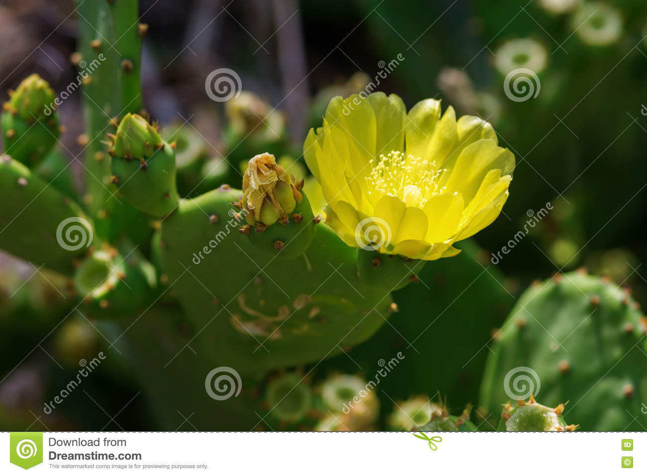 Opuntia Cactus With Yellow Flower Stock Image Image Of Prickly