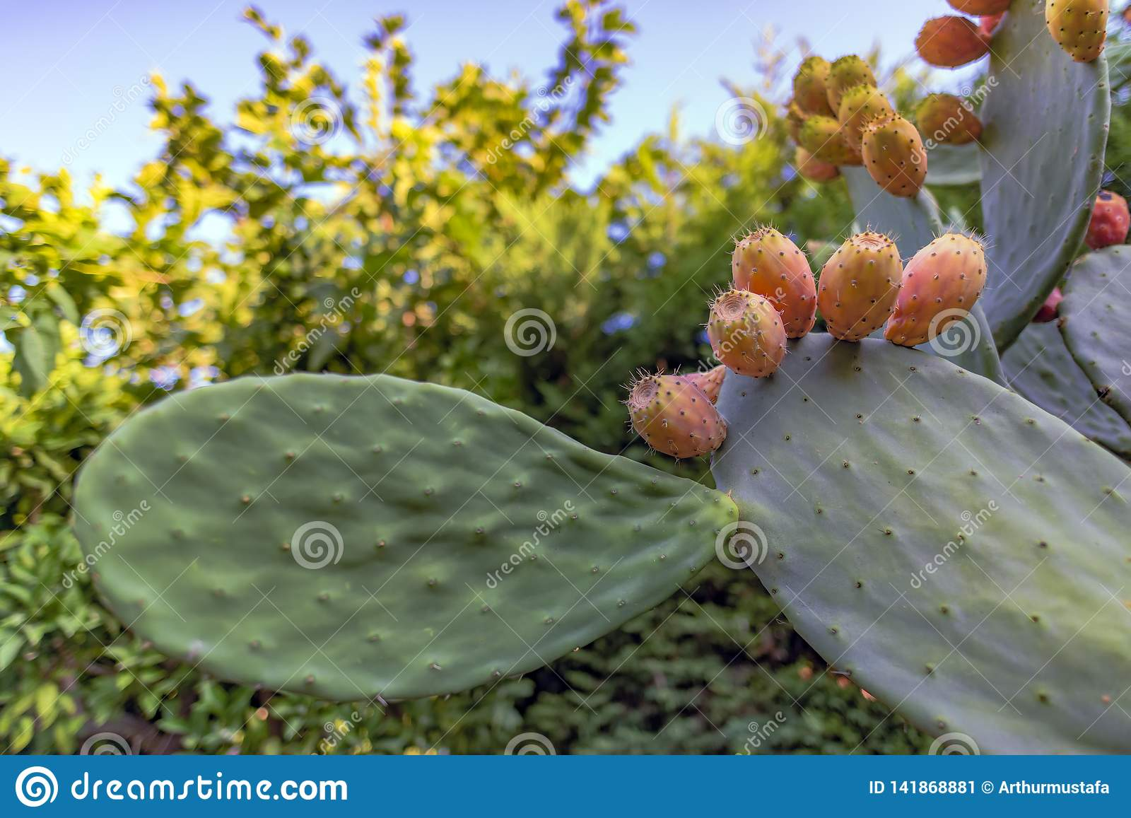 Opuntia ficus indica dei rami del cactus di Sabra con molti frutti maturi Fico d india con i frutti dolci succosi