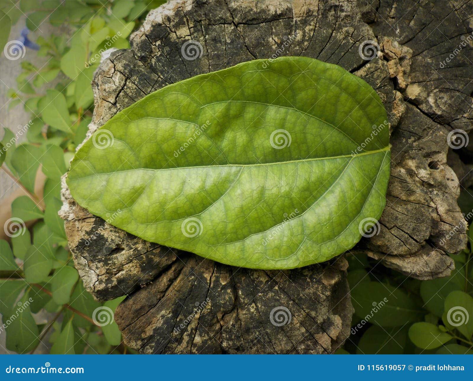 Opuszcza teksturze zielonego kolor na drewniany starym