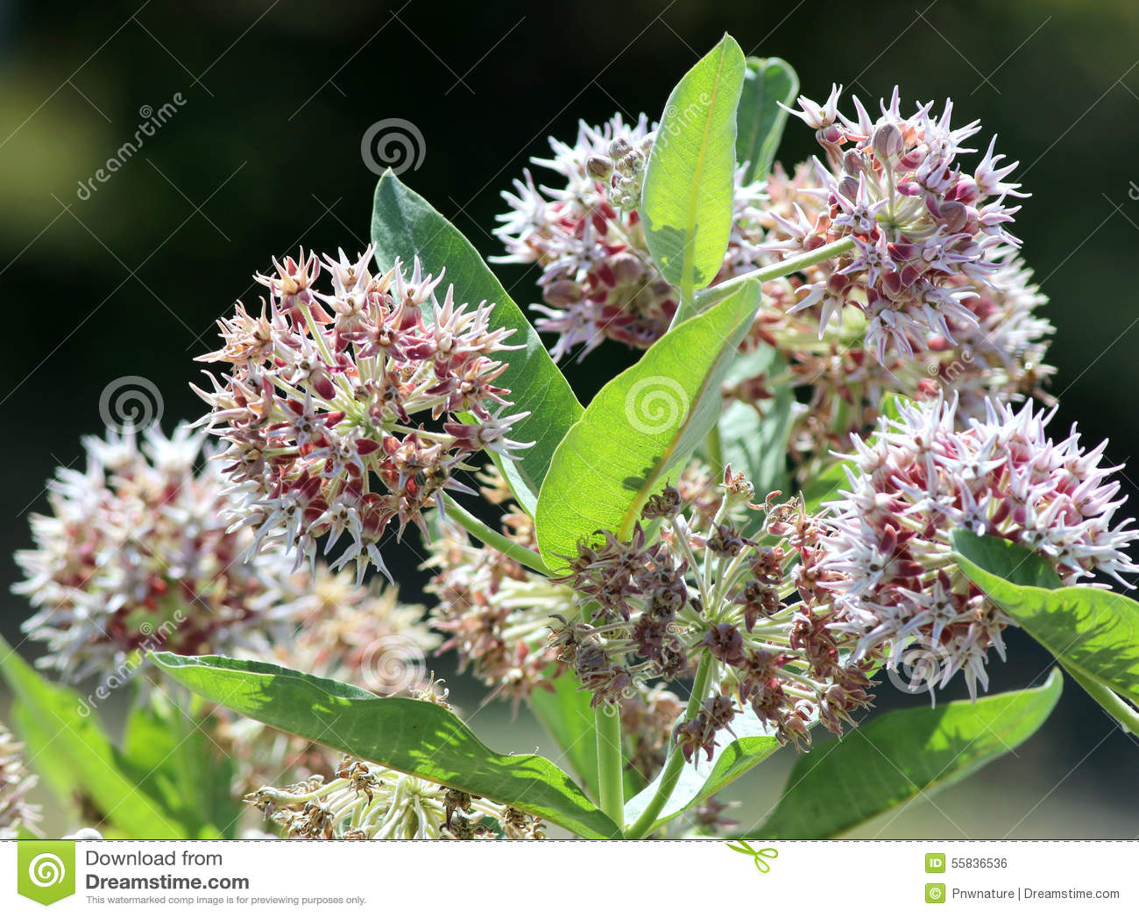 Opzichtige speciosa van Milkweed - Asclepias-