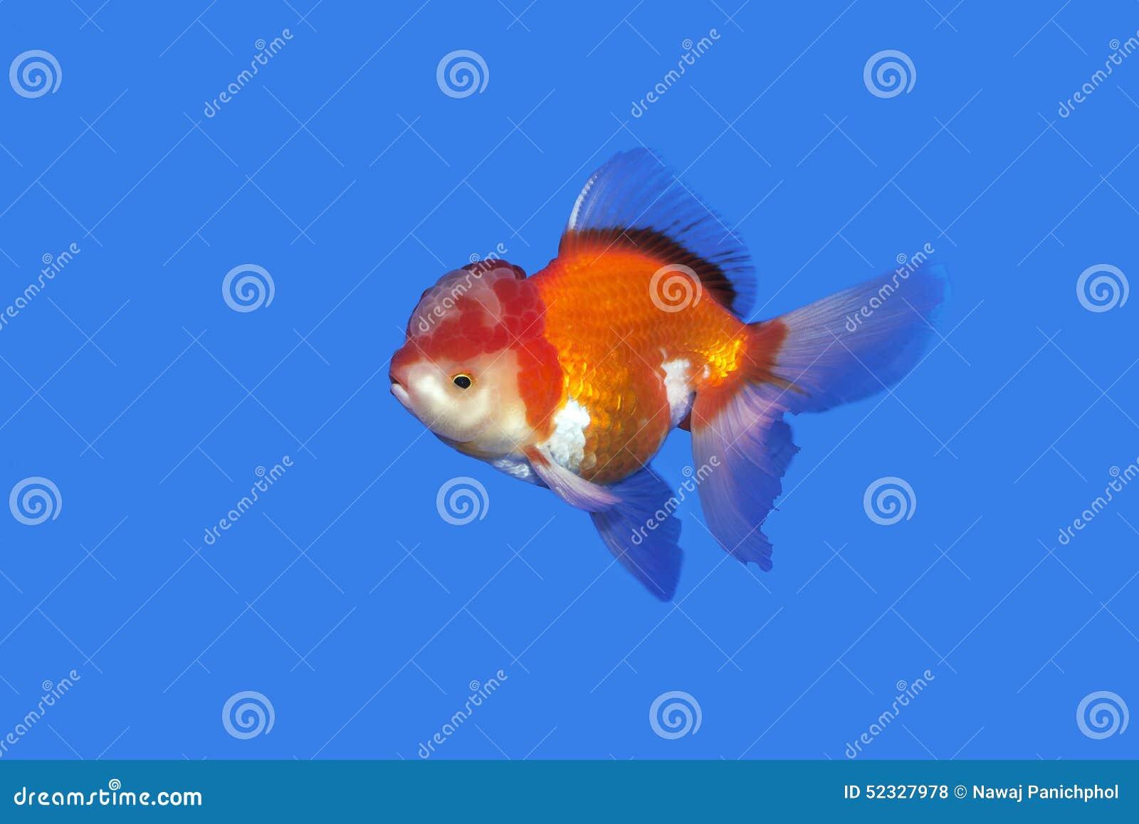 Oranda de rouge or de poisson rouge sur le fond bleu photo for Poisson rouge immobile fond aquarium