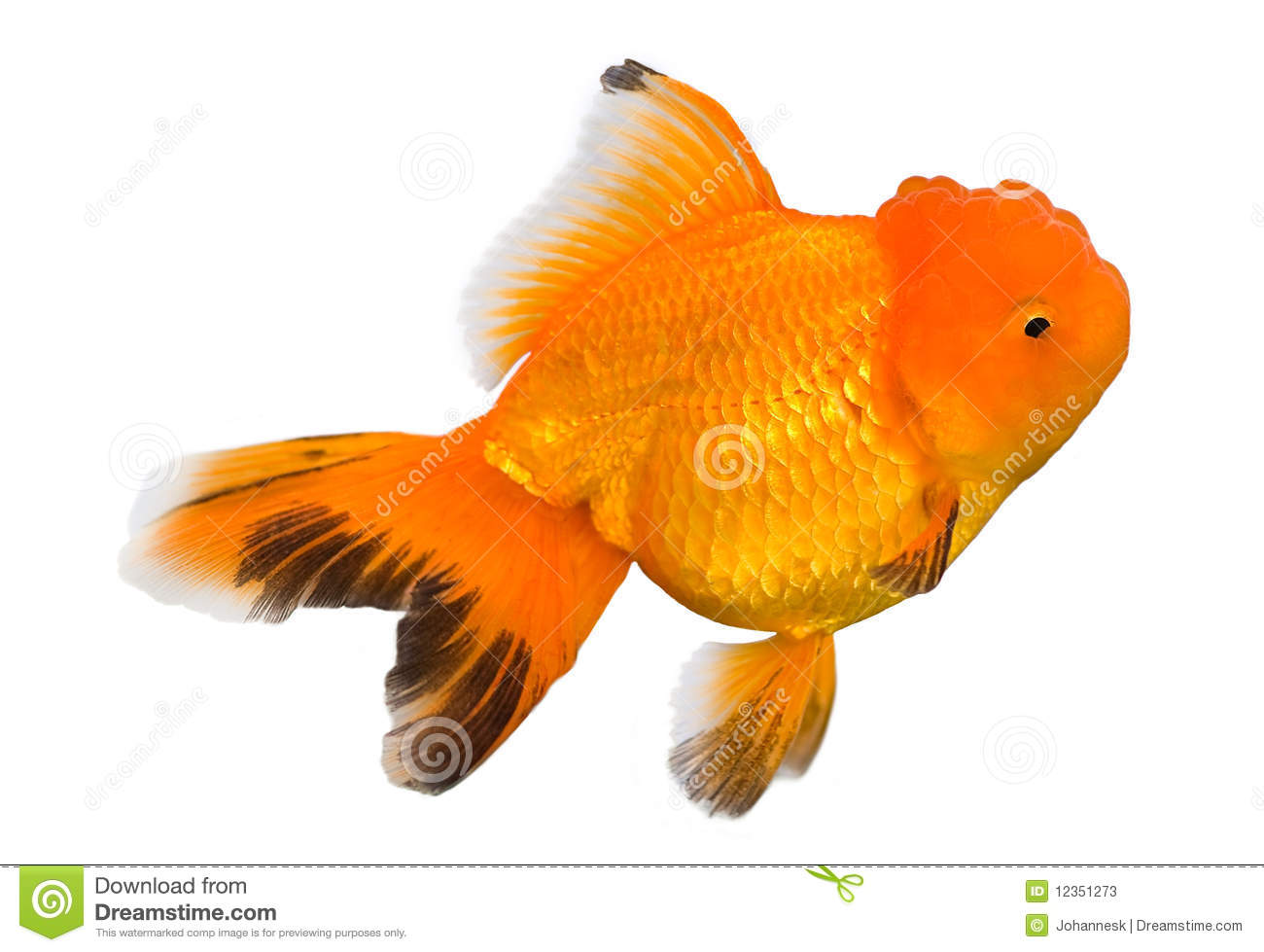 White oranda goldfish - photo#28