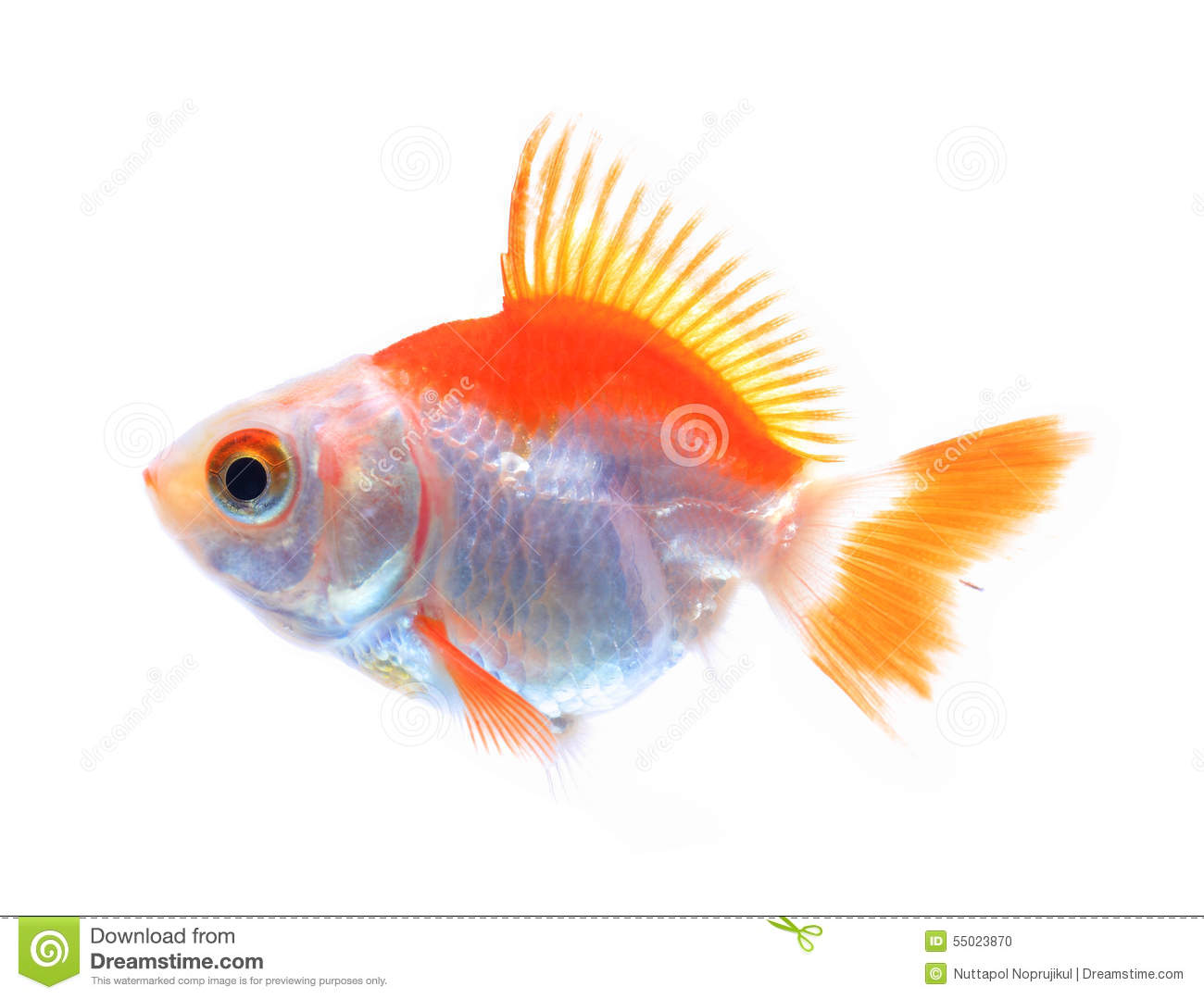 White oranda goldfish - photo#22