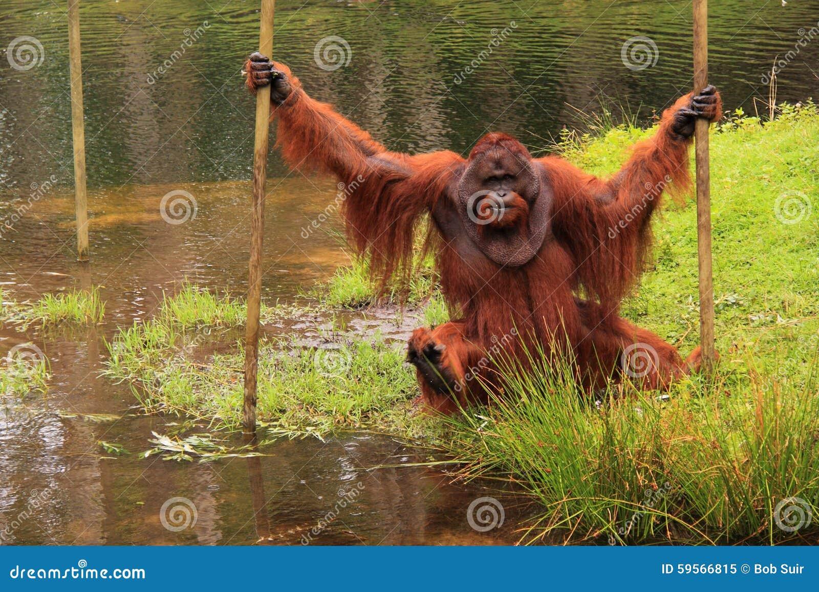 Orang outan crossing water pool