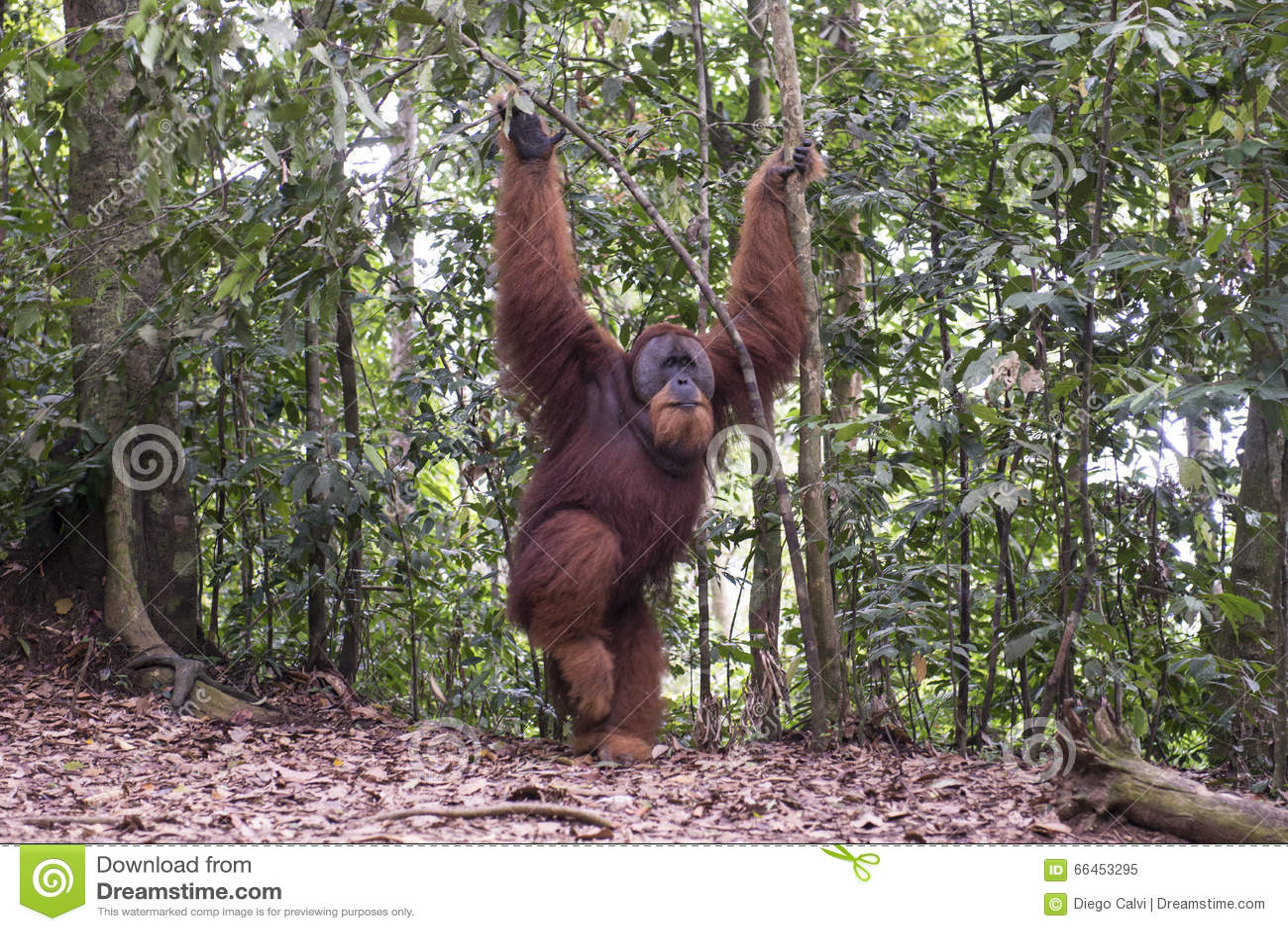 Orang-outan dans la jungle sumatra
