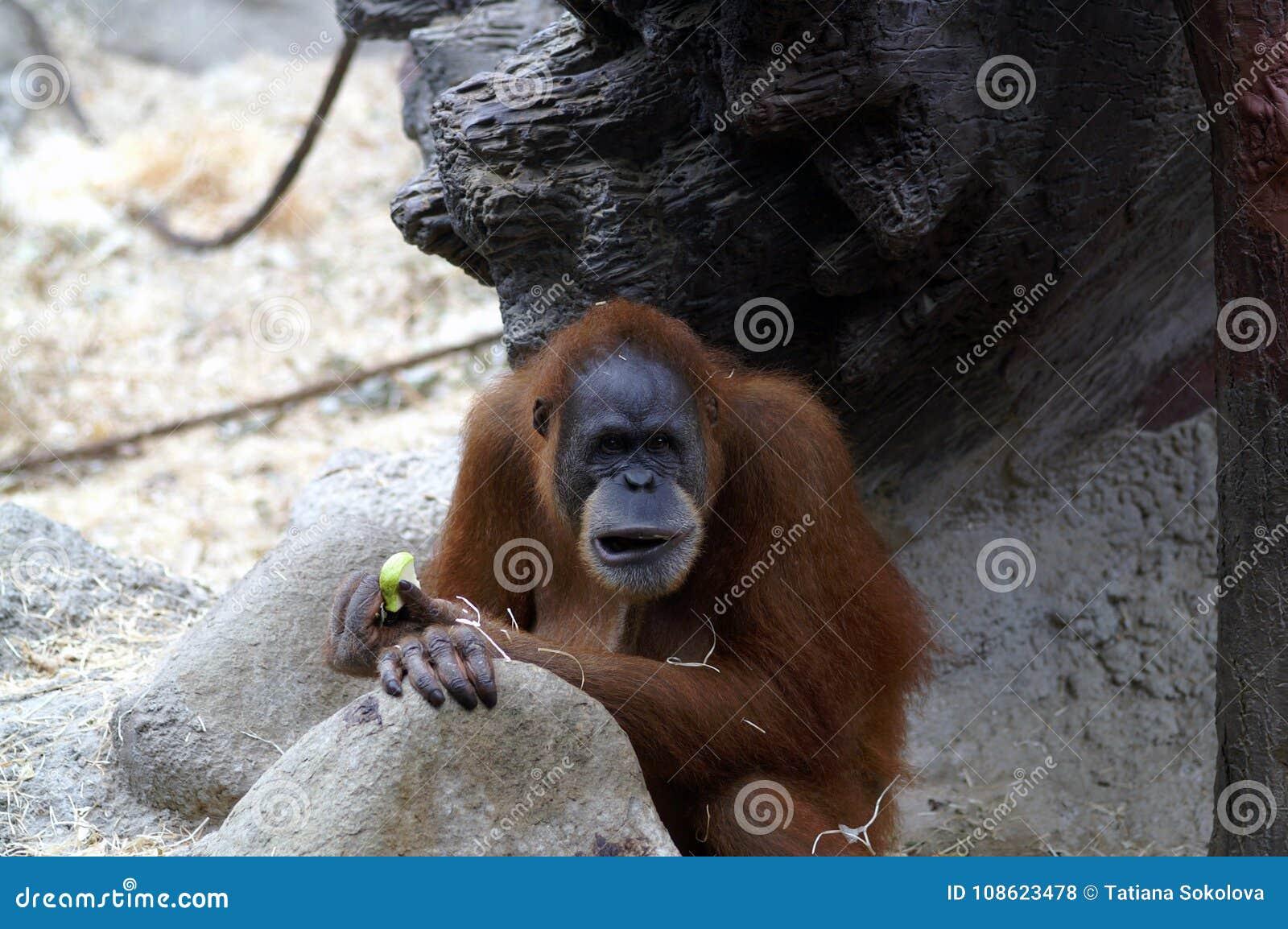 Orang-outan dans le zoo