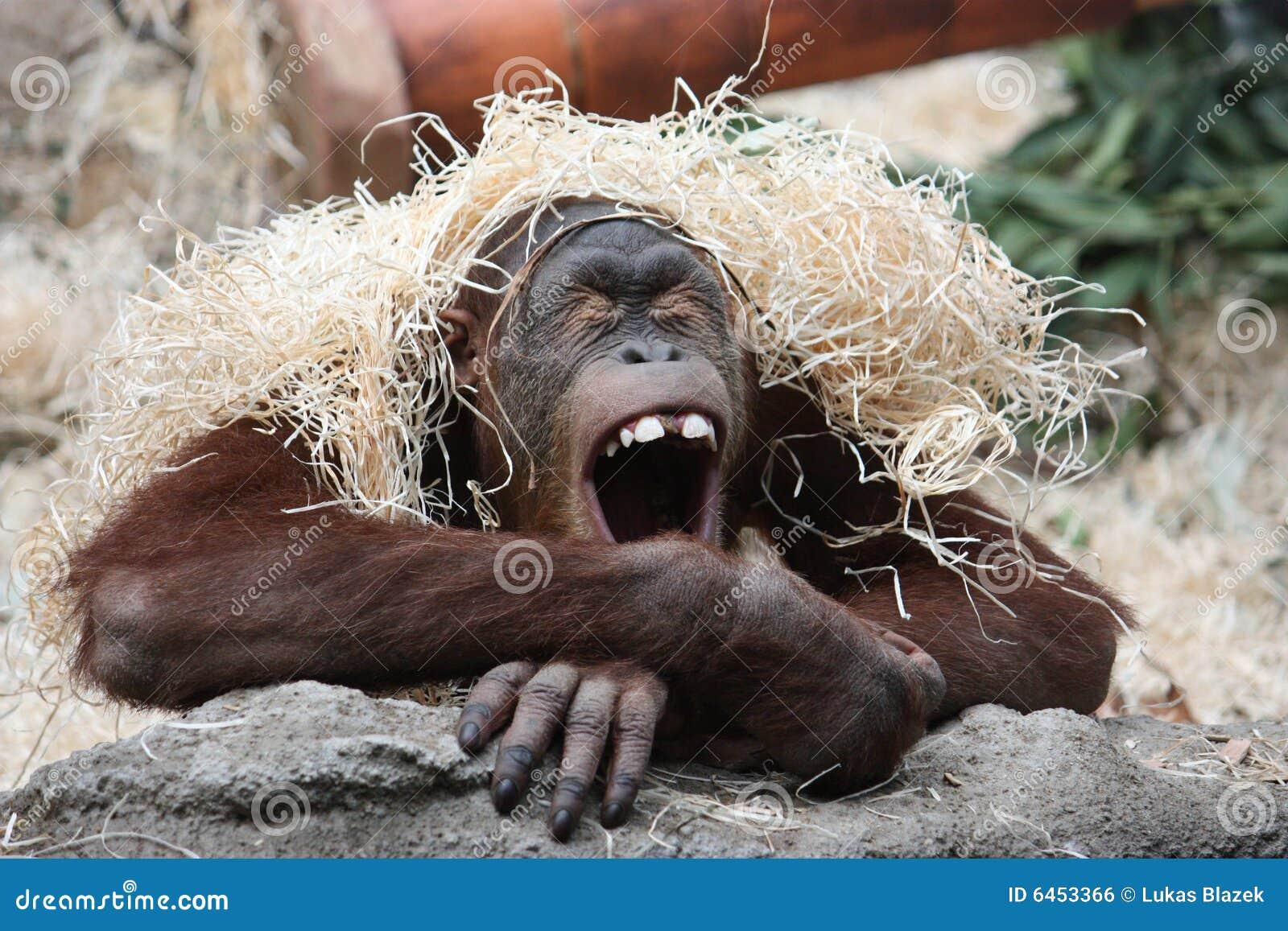 Orang-outan de baîllement