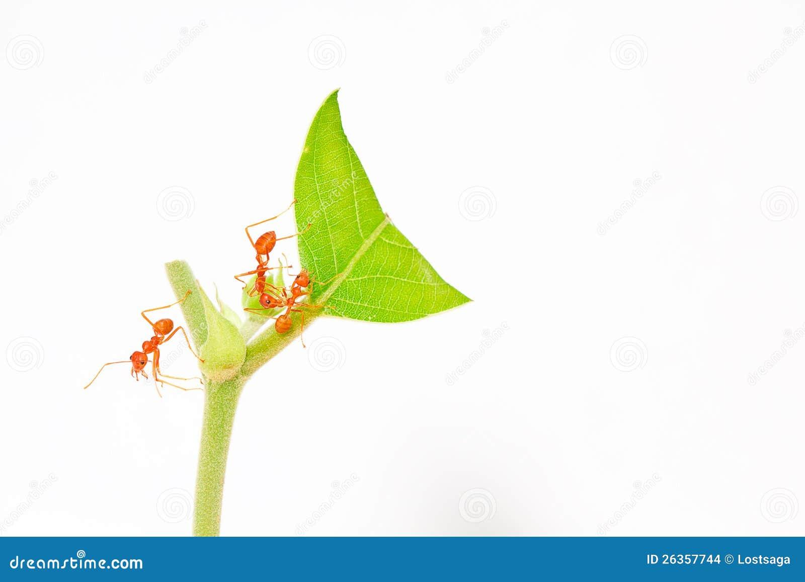 Orange Ameisenstütze auf oberstem grünem Blatt