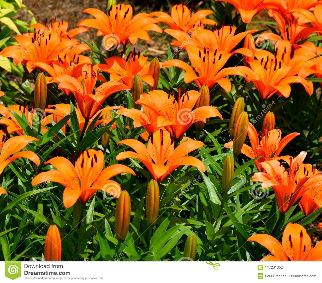 Orange Asian Lilies Stock Photo Image Of Botanical 117231352