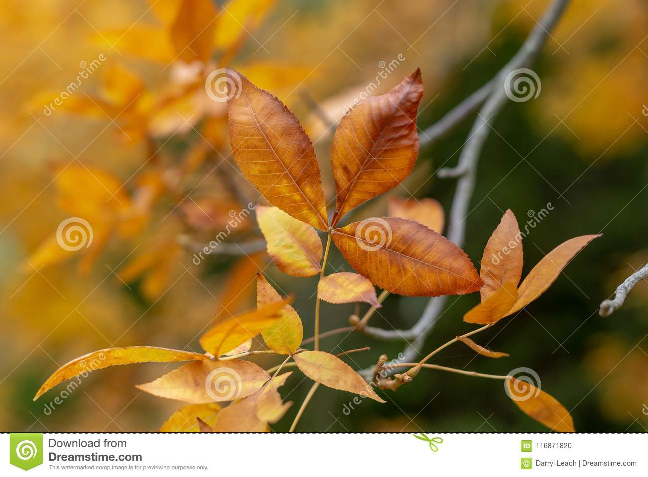 Orange Autumn leaves with blurred background at Mount lofty south australia on 17th May 2018