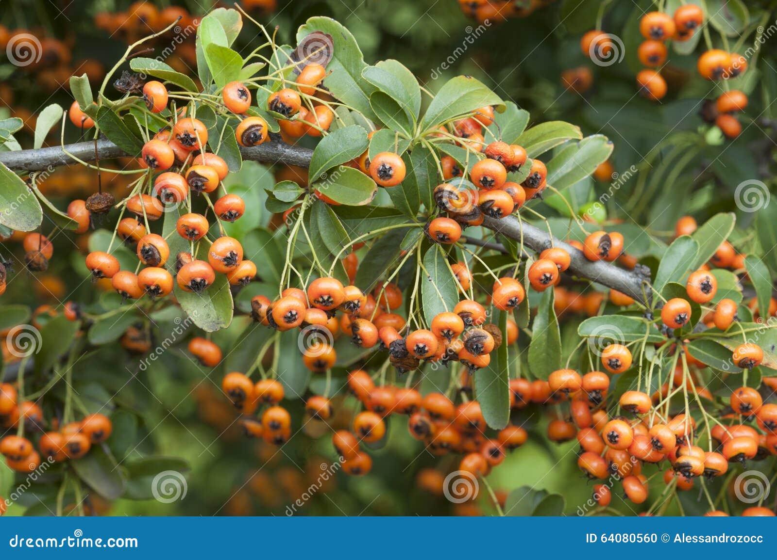 orangea bär på buske