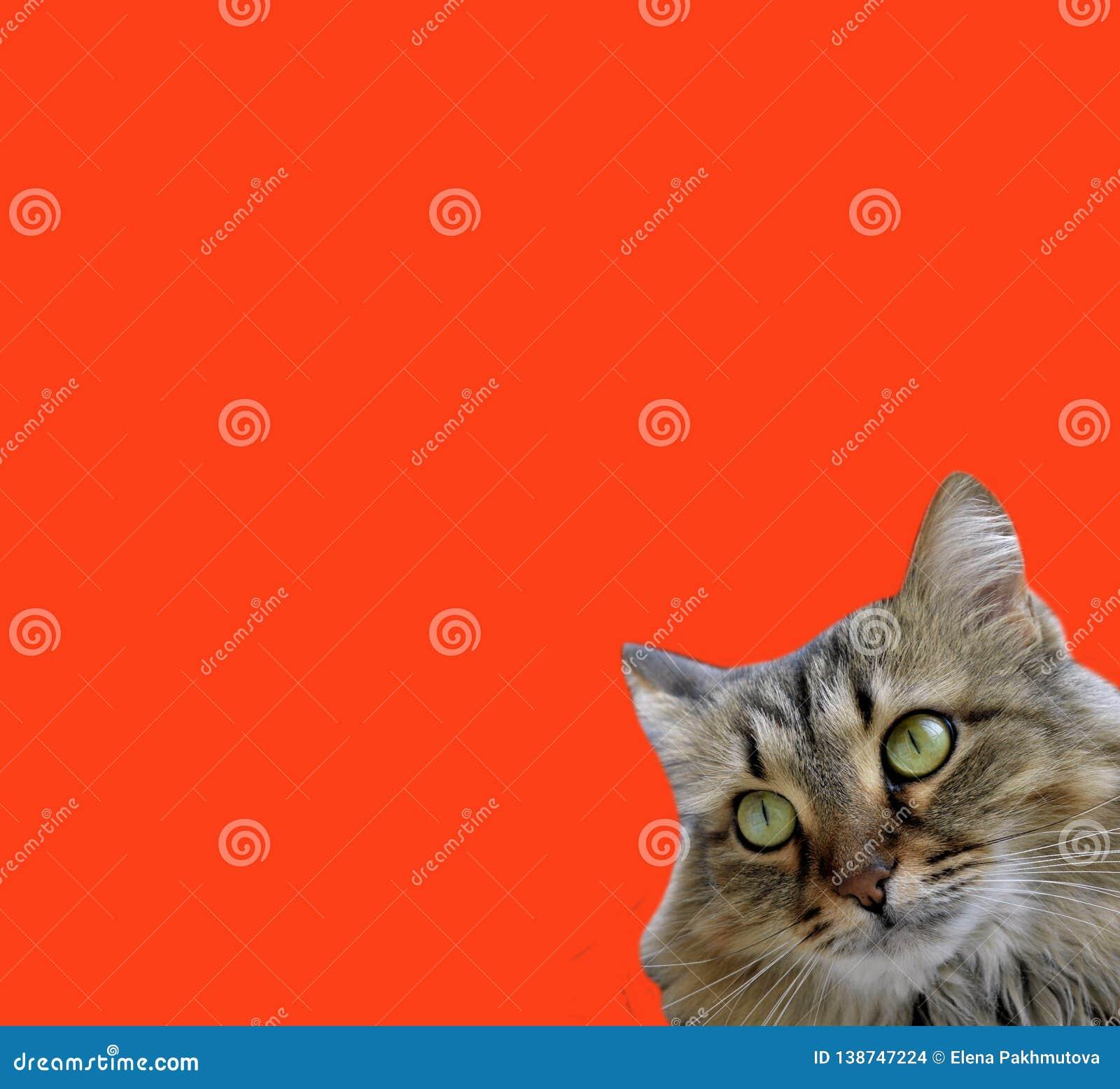 Cat, animal, pet, kitten, feline, domestic, fur, cute, pets, eyes, portrait, animals, white, gray, eye, isolated, kitty, mammal, n