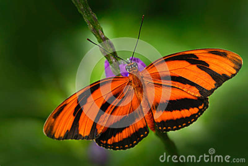 Orange Barred Tiger, Dryadula phaetusa, butterfly in nature habitat. Nice insect from Mexico. Butterfly in the green forest. Butte