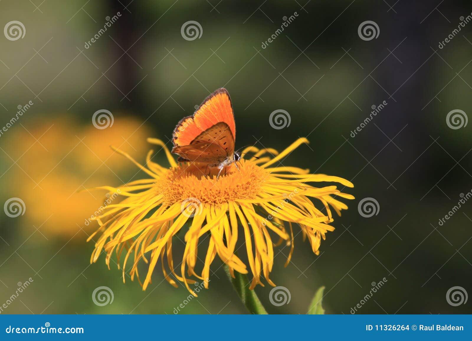 Orange Basisrecheneinheit auf gelber Blume