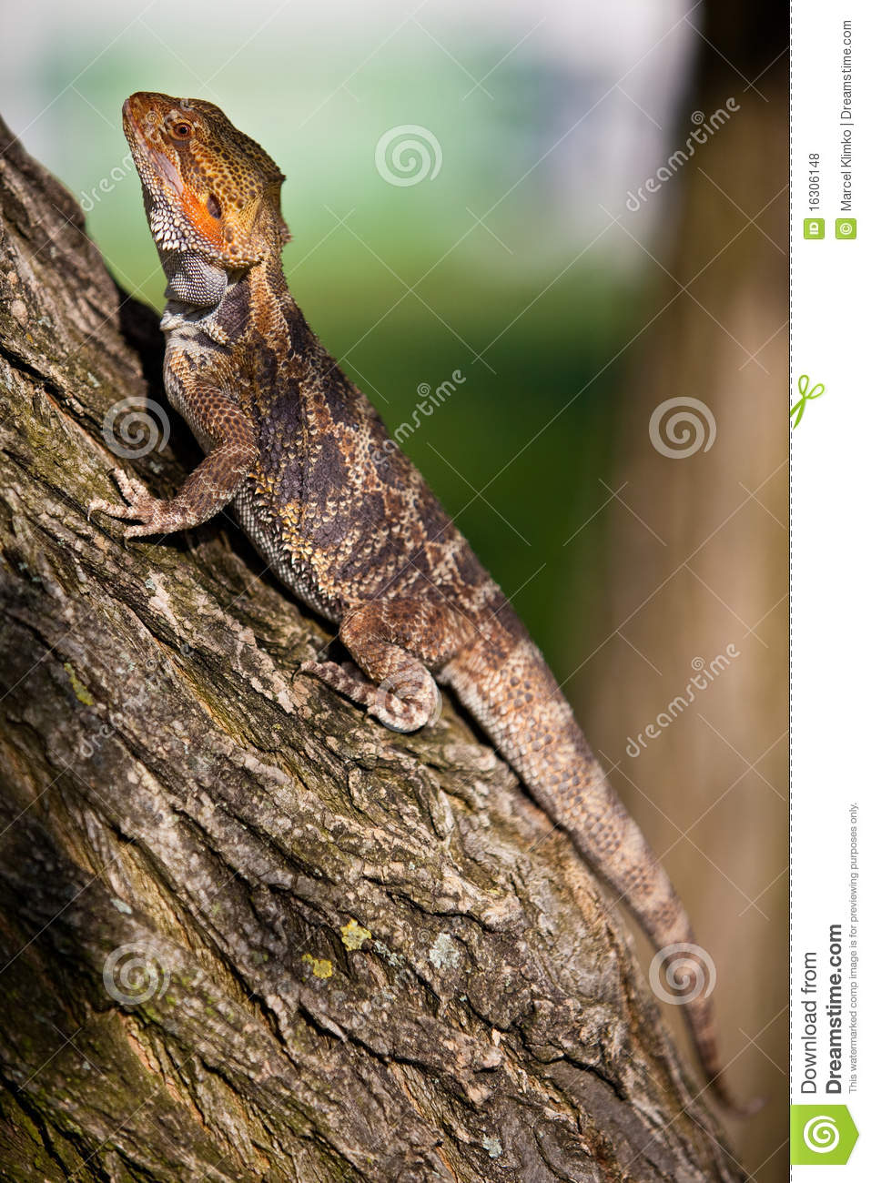 Orange Bearded Dragon On The Tree Stock Photo - Image ...