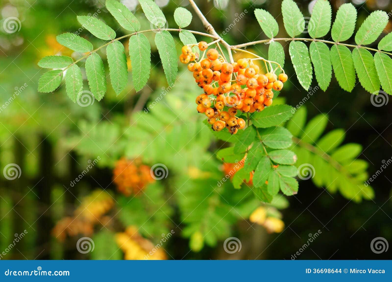 Orange berries stock images image 36698644