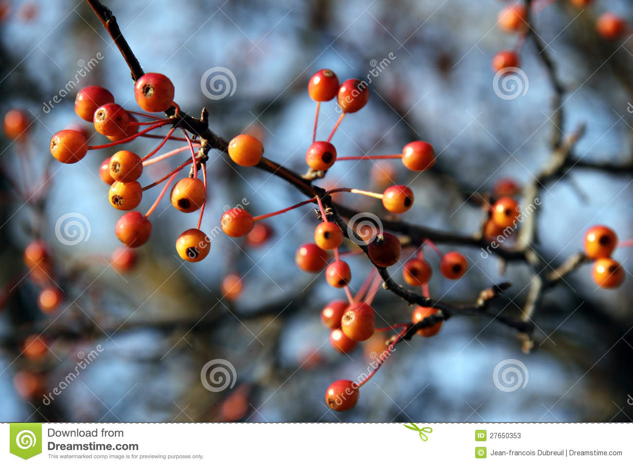 Orange Berries On Leafless Branches Stock Image Image Of Group