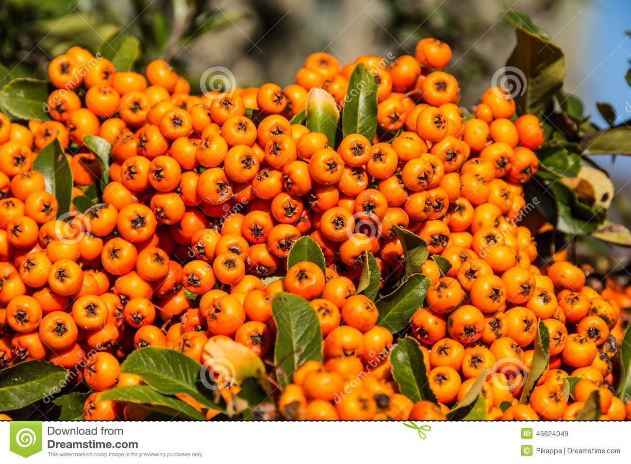 The Orange Berries Of Pyracantha Stock Image - Image: 46624049