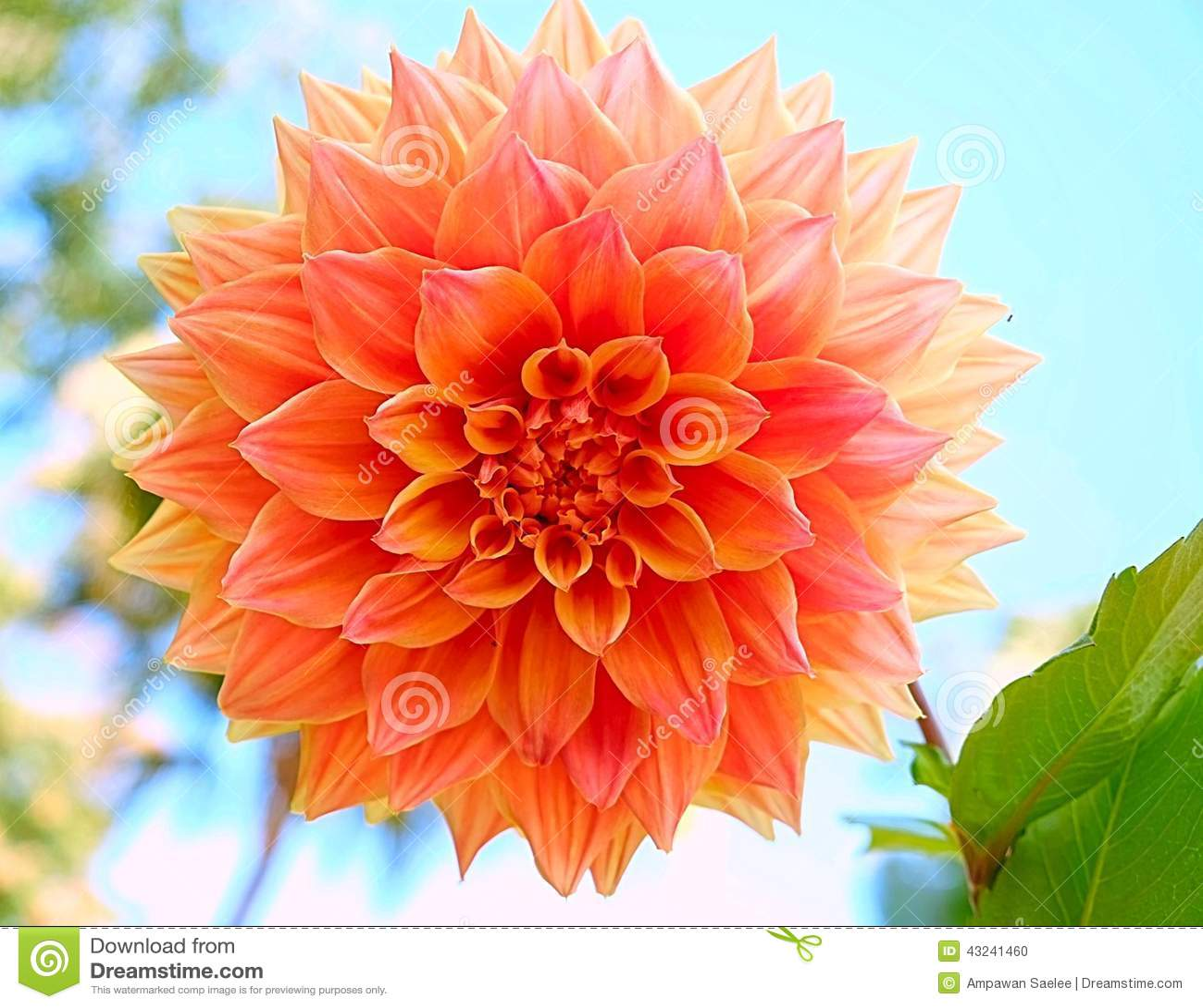 Orange Big Flower Blossom Stock Image