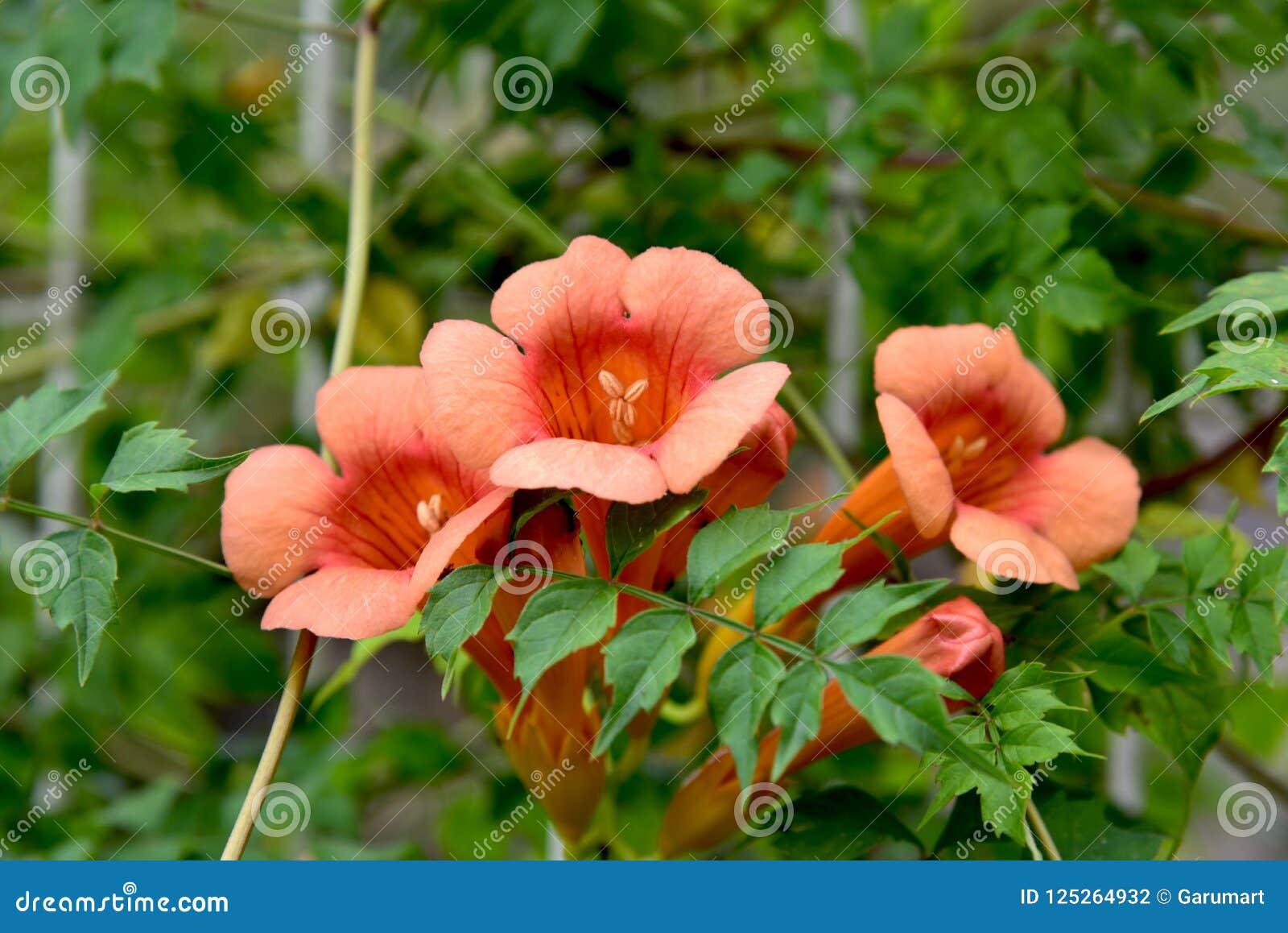 Orange bignonia flowers