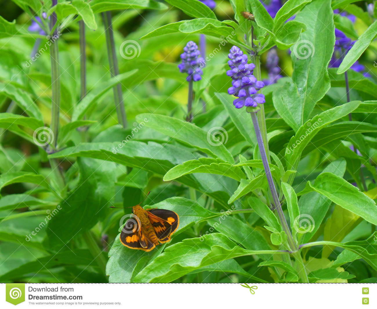 Orange and black butterfly on the green leaf of Lavender plant