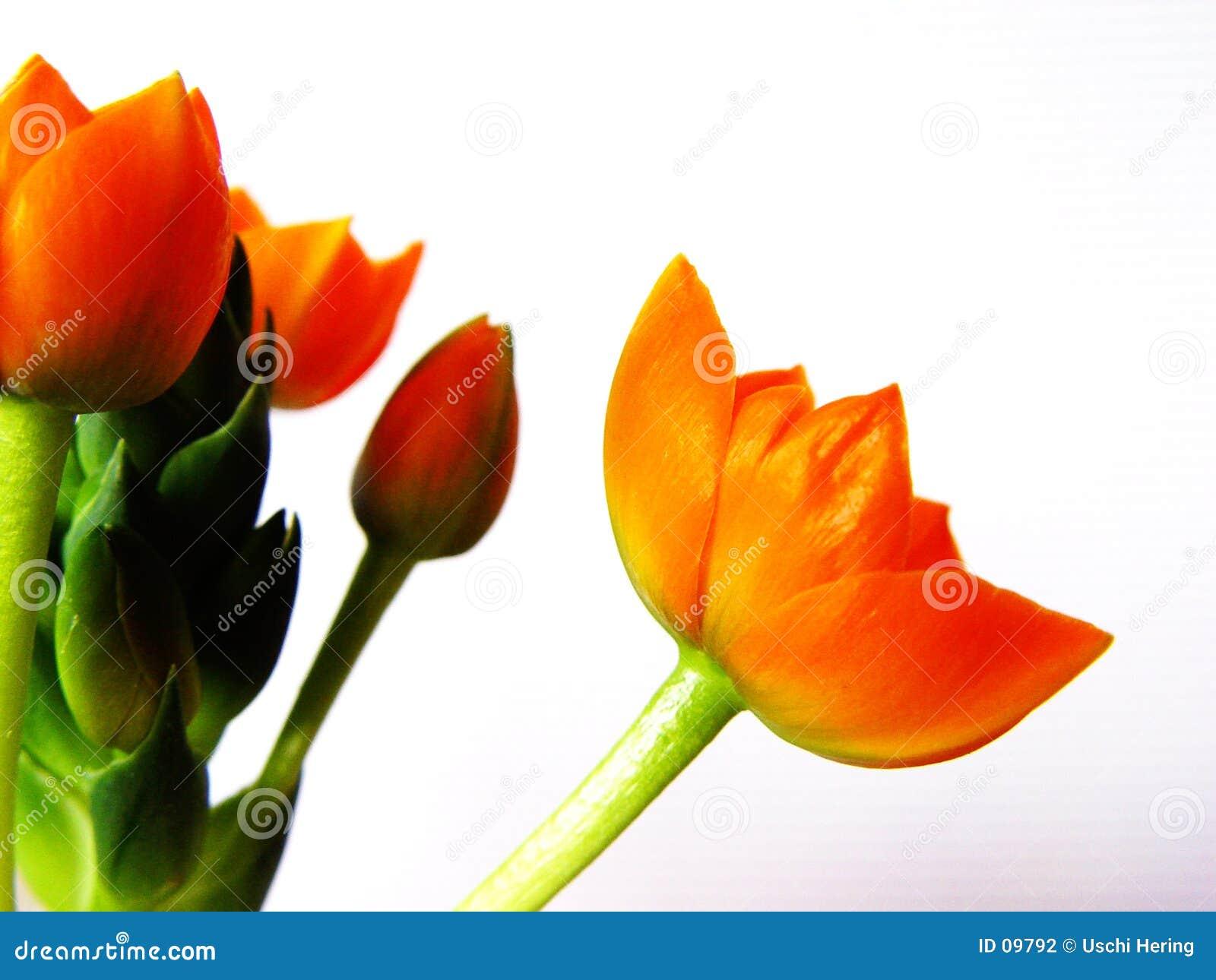 Orange blomningar 1