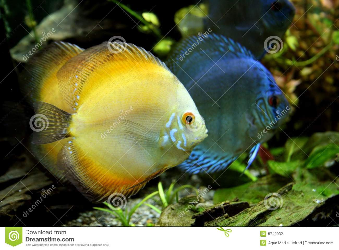 Orange And Blue Discus Fish Stock Photography - Image: 5740932