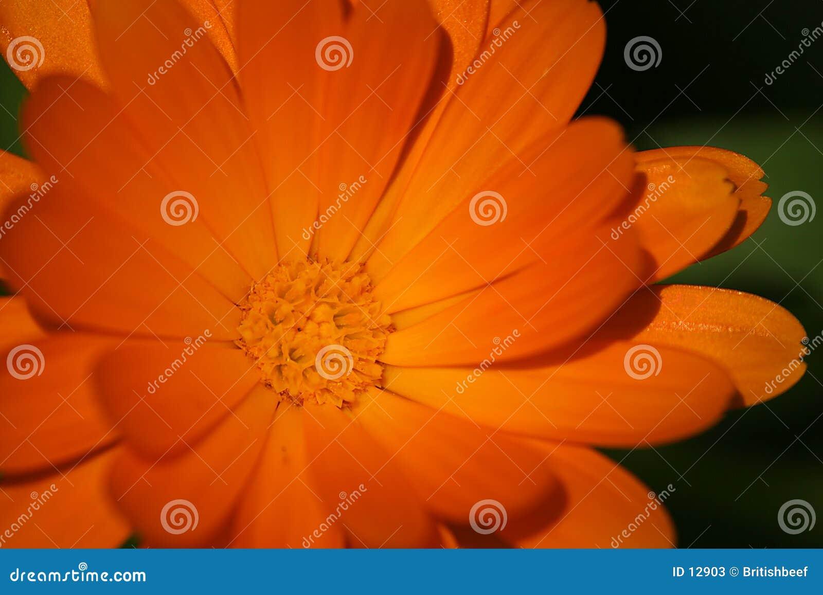 Orange Blume